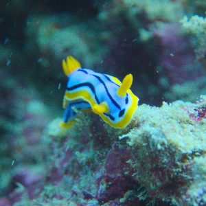 Mollusques » Gastéropodes » Nudibranches » Chromodoris elisabethina
