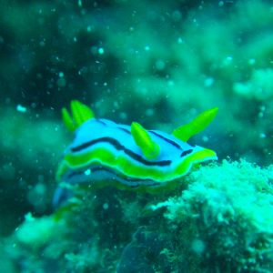Mollusques » Gastéropodes » Nudibranches