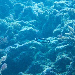 Macolor niger - Nouvelle-Calédonie, Yaté, tombant extérieur de l'Îlot Nouaré