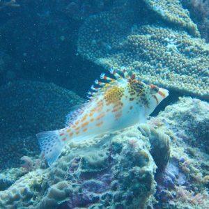 Cirrhitichthys falco - Nouvelle-Calédonie, Yaté, tombant extérieur de l'Îlot Nouaré