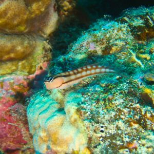 Poissons » Blennie » Ecsenius yaeyamaensis