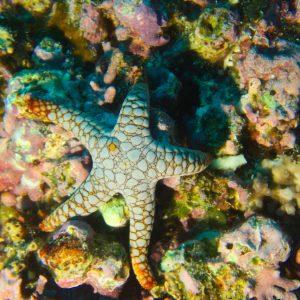 Échinodermes » Étoile de mer » Fromia indica