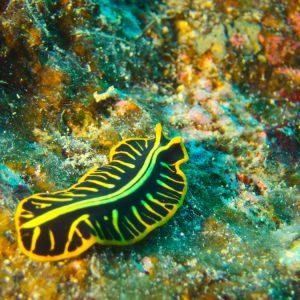 Pseudoceros cf. dimidiatus - Nouvelle-Calédonie, Bourail, Grand Coude de Kélé