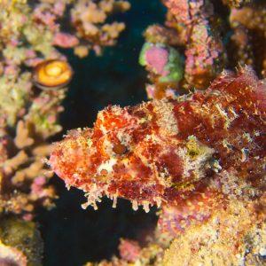 Scorpaenopsis possi - Nouvelle-Calédonie, Bourail, Fausse passe de l'Île Verte
