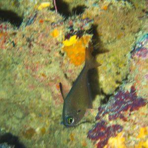 Pempheris oualensis - Nouvelle-Calédonie, Bourail, Fausse passe de l'Île Verte