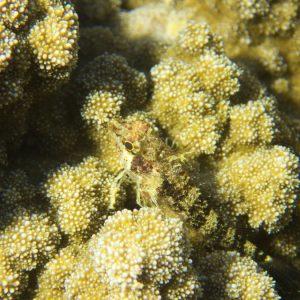 Poissons osseux » Poisson à trois nageoires