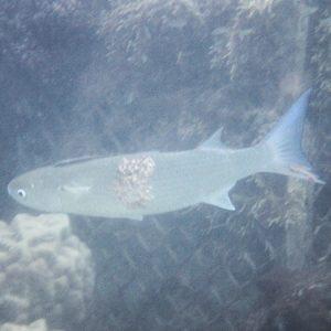 Moolgarda seheli - Nouvelle-Calédonie, Nouméa, Baie des Citrons