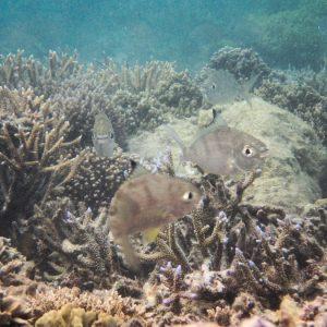 Gerres oyena - Nouvelle-Calédonie, Nouméa, Baie des Citrons
