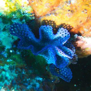 Lophophorien » Bryozoaire » Iodictyum sp.
