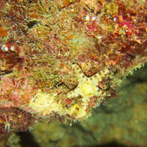 Échinodermes » Étoile de mer » Neoferdina cumingi
