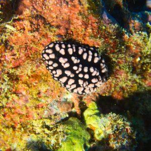 Mollusques » Gastéropodes » Nudibranches » Phyllidiella nigra