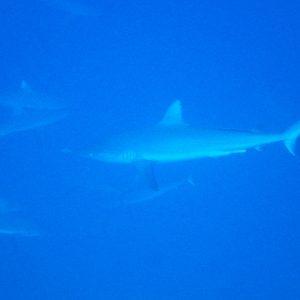 Carcharhinus amblyrhynchos - Nouvelle-Calédonie, La Foa, La Corne d'Isié