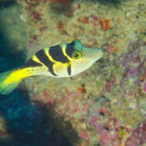 Poissons osseux » Poisson-lime » Paraluteres prionurus