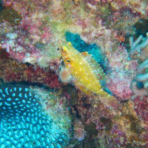 Poissons osseux » Labre » Pteragogus cryptus