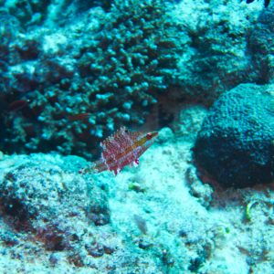 Poissons osseux » Labre » Oxycheilinus arenatus