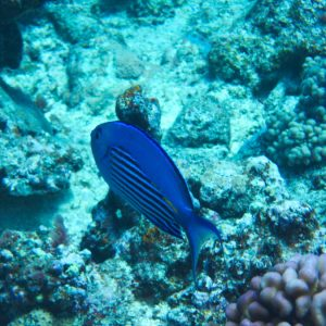 Poissons osseux » Poisson-ange » Genicanthus watanabei