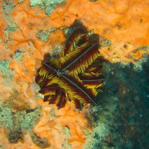 Crinoïde - Nouvelle-Calédonie, Nouméa, Épave du Toho 2