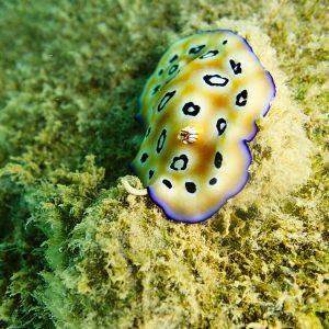 Mollusques » Gastéropode » Limaces de mer (opisthobranche) » Nudibranche » Doridien » Chromodoris leopardus