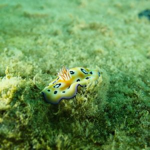 Mollusques » Gastéropodes » Nudibranches » Chromodoris leopardus