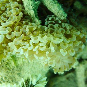 Cnidaires » Corail dur (scleractiniaire) » Madrépore » Euphyllia ancora
