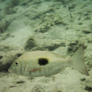 Poissons osseux - Nouvelle-Calédonie, Nouméa, Baie des Citrons