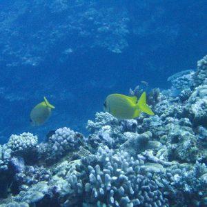 Poissons » Picot » Siganus coralinus