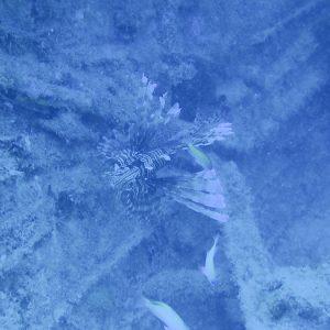 Poissons » Rascasse » Pterois volitans