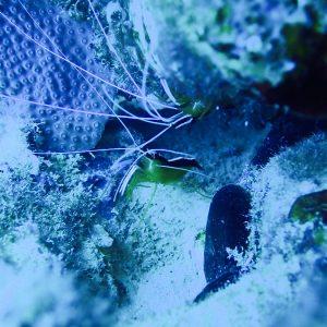 Crustacés » Crevettes » Lysmata amboinensis