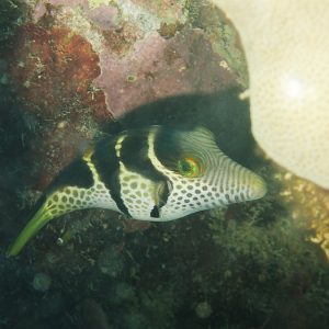 Poissons » Canthigaster » Canthigaster valentini