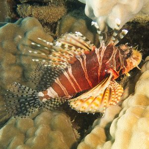 Dendrochirus zebra - Nouvelle-Calédonie, Nouméa, Baie des Citrons