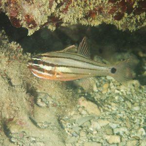 Poissons » Poisson-cardinal » Ostorhinchus novemfasciatus
