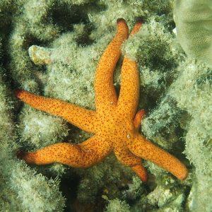 Échinodermes » Étoile de mer » Echinaster luzonicus