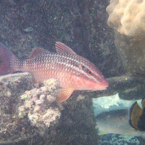 Poissons » Rouget-barbet » Parupeneus ciliatus