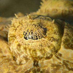 Poisson-crocodile - Nouvelle-Calédonie, Nouméa, Baie des Citrons