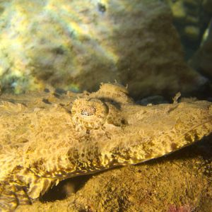 Poissons » Poisson-crocodile