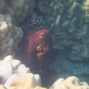 Mollusques » Céphalopodes » Poulpe