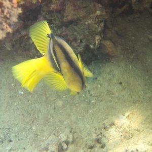 Diploprion bifasciatum - Nouvelle-Calédonie, Nouméa, Baie des Citrons