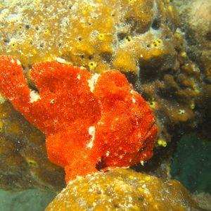 Poisson-grenouille - Nouvelle-Calédonie, Nouméa, Baie des Citrons