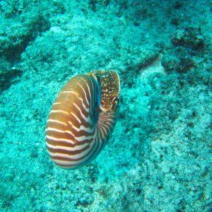 Mollusques » Céphalopodes » Nautile