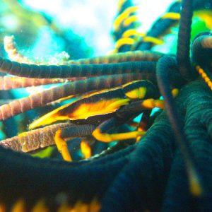Crustacés » Galathée » Allogalathea babai