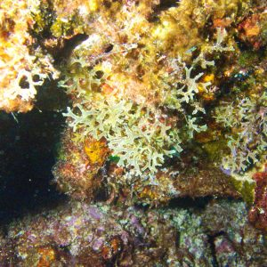 Algues » Algue brune