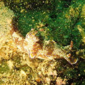 Mollusques » Gastéropodes » Nudibranches » Ceratosoma tenue