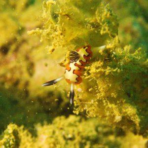 Mollusques » Gastéropodes » Nudibranches » Goniobranchus fidelis