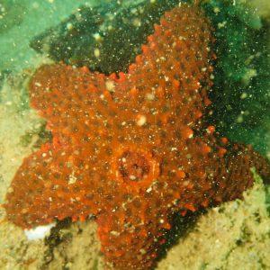 Échinodermes » Étoile de mer » Asterina burtoni