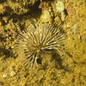 Lophophorien » Bryozoaire » Idmidronea sp.