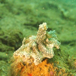 Mollusques » Gastéropodes » Nudibranches » Ceratosoma sinuatum