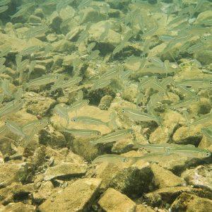 Poissons osseux - Nouvelle-Calédonie, Nouméa, Ouémo