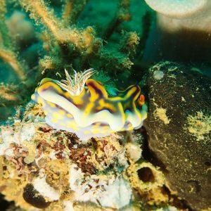 Mollusques » Gastéropode » Limaces de mer (opisthobranche) » Nudibranche » Doridien » Ceratosoma magnificum