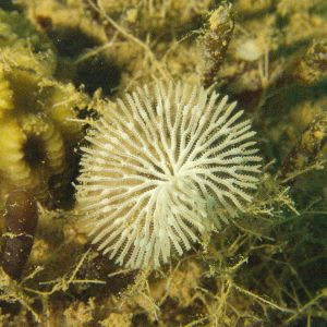 Ectoprocte (bryozoaire) » Idmidronea sp.