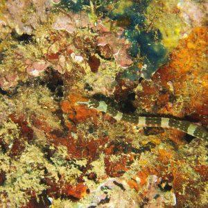 Poissons osseux » Poisson-pipe » Corythoichthys amplexus
